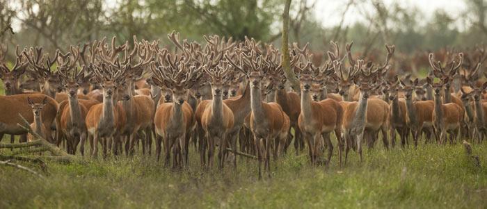 Eine riesige Hirschgruppe