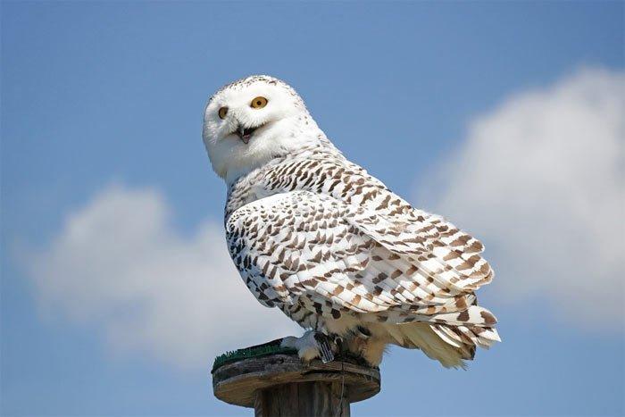 Harry Potter - die Eule Hedwig