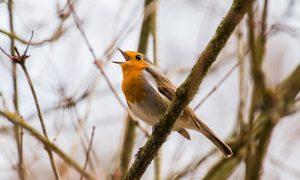 Singen aus Liebe? Evolution oder Kultur?